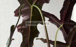 alocasia-sanderiana-Nobilis-30-