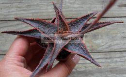 aloe-Bright-Star-30