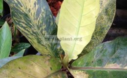 anthurium-Black-Dragon-variegated-взрослое-растение