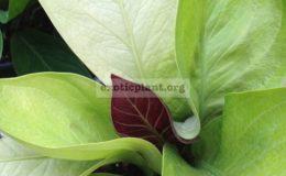 anthurium-Golden-Jemanii-purple-top-взрослое-растение-к-продаже-маленькое-растение-10-см-высотой-3-листа-anthurium-Golden-Jemanii-purple-top-S-44-1