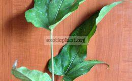 anthurium-Papaya-1500