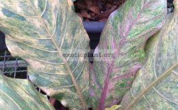 anthurium-hookeri-pink-variegated-