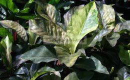 anthurium-hookeri-var-brown