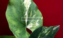 anthurium-hybrid-Arrow-Heart-variegated-100-