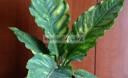 anthurium-hybrid-variegated-2000-
