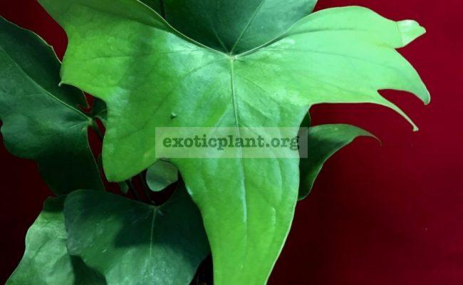 anthurium-sp-Pinnochio-60-