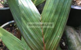 areca-vestiaria-red-leaf-40