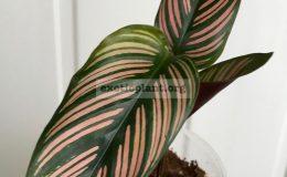 calathea-ornata-Roseolineata-650