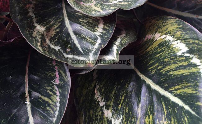 calathea-roseopicta-variegated