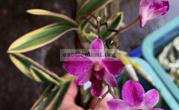 dendrobium-phalaenopsis-hybrid-variegated-flowers