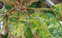 dorstenia-foetida-variegated-25