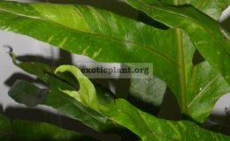 drynaria-variegated