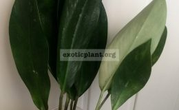 epipremnum-Green-Satin-25-