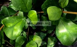 ficus-triangularis-Green-Dream