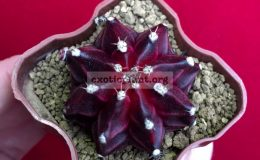 gymnocalicium-cv-Purple-Miracle-50-