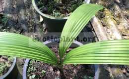 johannestiejmannia-lanceolata-45