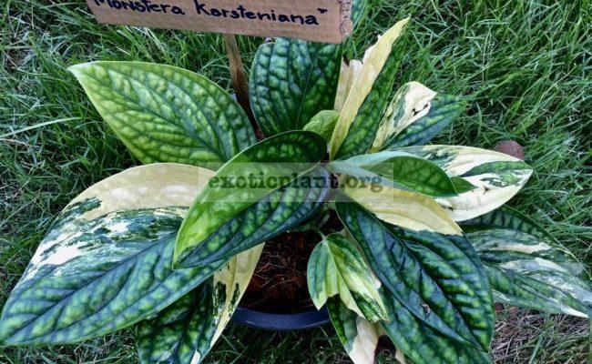 monstera-karstenianum-variegated