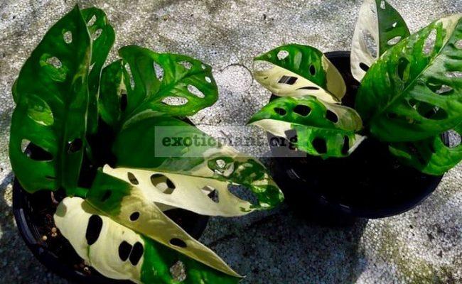 monstera-obliqua-variegated-260