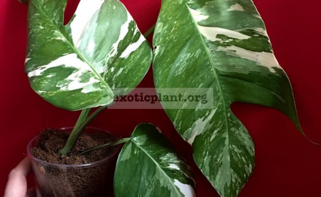 monstera-sp-undetermined-variegated-260
