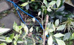 murraya-paniculata-variegated-120