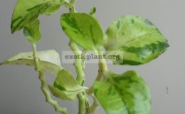 pedilanthus-zigzag-lime-