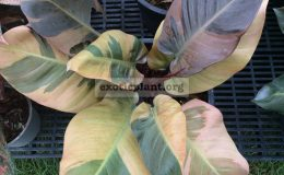 philodendron-Black-Cardinal-variegated-