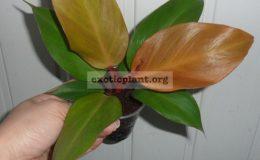 philodendron-Siam-Orange-700