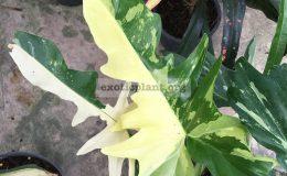 philodendron-minarum-variegated-500