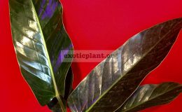 philodendron-sp-glance-50-