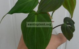philodendron-sp-veloure-leave-800-