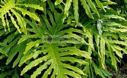 philodendron_selloum-пример-взросого-растения-