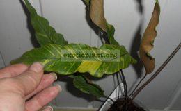 pyrosia-lingua-variegated