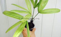 rhapis-sp-variegated-20-30