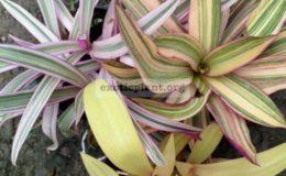 rheo-white-pink-green-10-rheo-yellow-pink-green-10-rheo-yellow-pink-10
