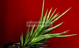 sansevieria-francisii-variegated-