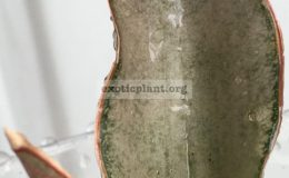 sansevieria-kirkii-Frosted-Copper-50-