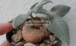 sinningia-leucotricha-45
