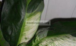 spatiphyllum-New-One-20-30-