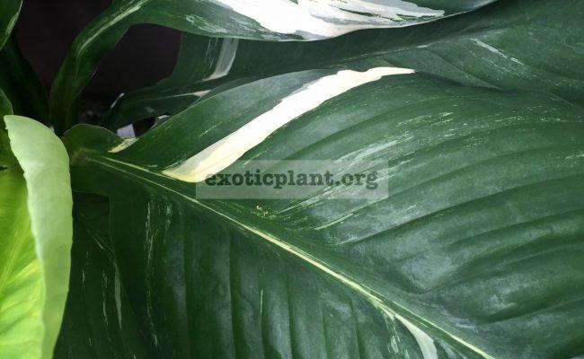 spatithyllum-cannifolium-Sunny-Sails-white-form-Sensation-white-variegated-