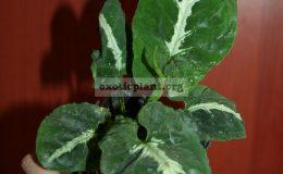 syng-wendlandii-round-leaf