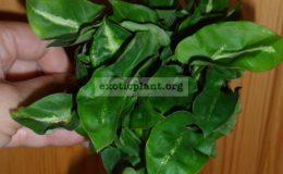 syngonium-Angel-Baby-Green-Mutation-