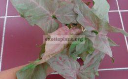 syngonium-Pink-Spot-