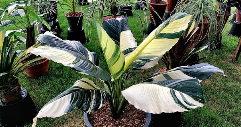Spathiphyllum / Спатифиллум, каталог