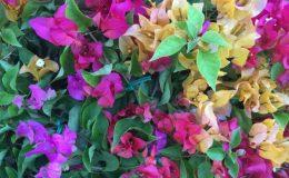 Bougainvillea multigrafted