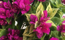 Bougainvillea multigrafted pixie