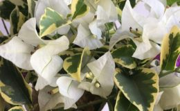 Bougainvillea multigrafted variegated