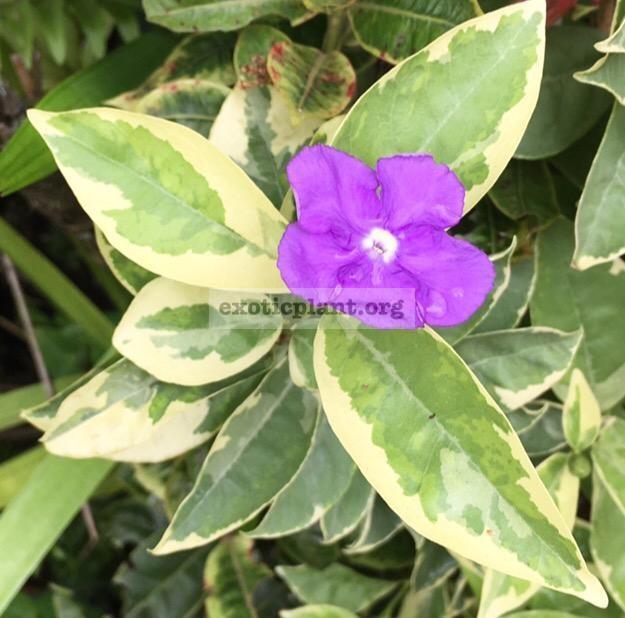 Brunfelsia australis albomarginata 70