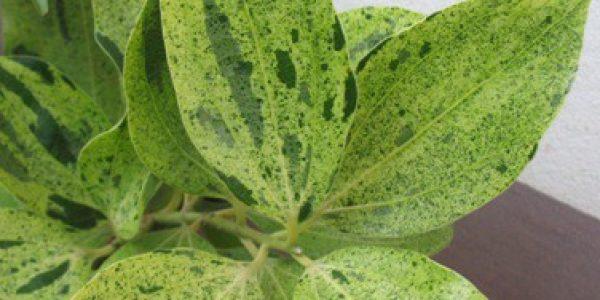 Cinnamomum-zeylanicum-variegated-120-e1452800039587-1