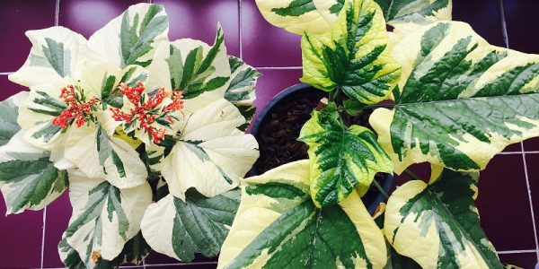 Clerodendrum-paniculatum-white-vand-yellow-variegated-compare-1