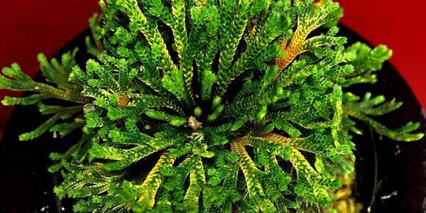 Коллекция Ивахиба (Селагинелла тамариксолистная) Японские культивары (Selaginella tamariscina Iwahiba)